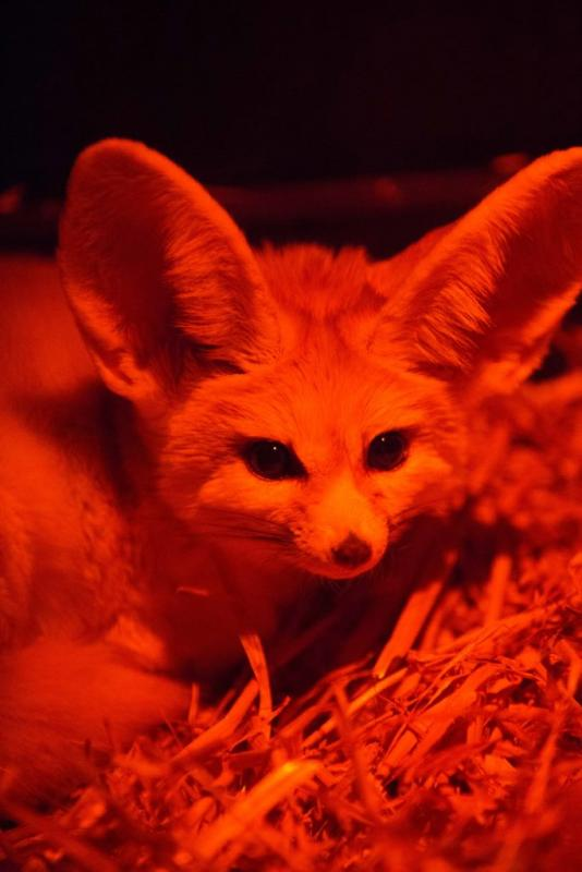 Little Africa - Fennec Fox
