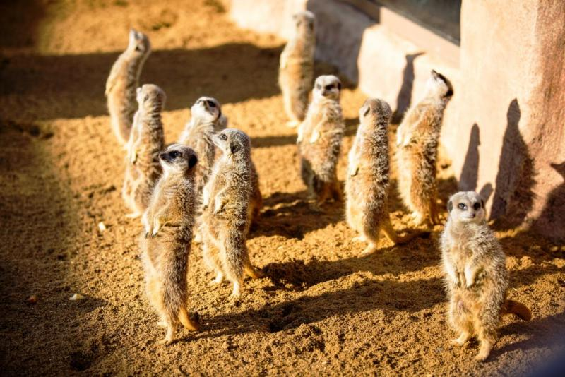 Little Africa - Meerkats